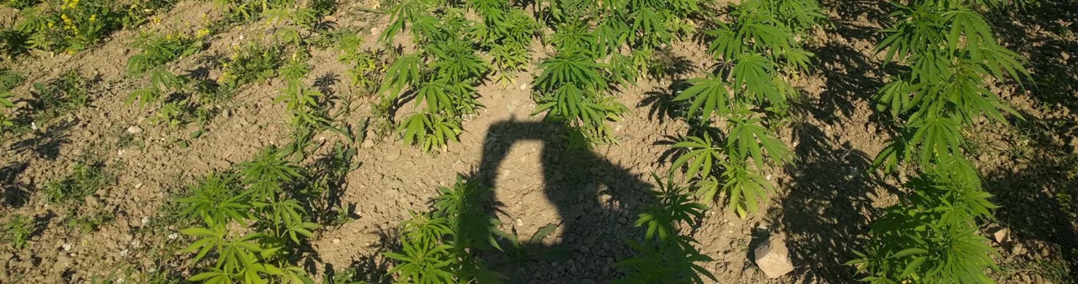coltivazione outdoor canapa light legale