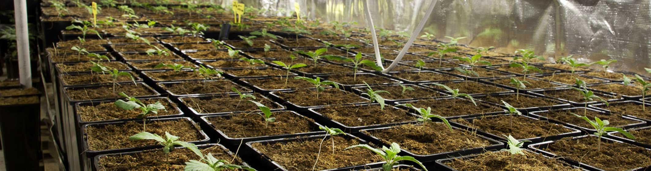 coltivazione indoor canapa light